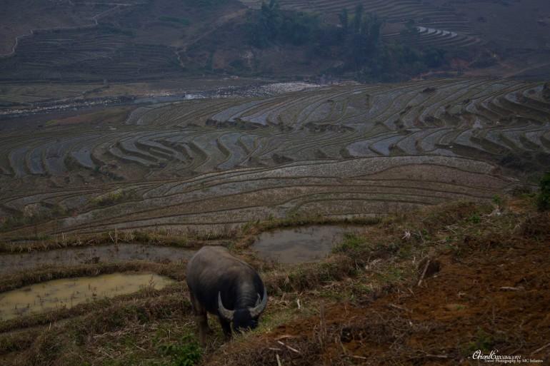 rice terrace water buffalo vietnam