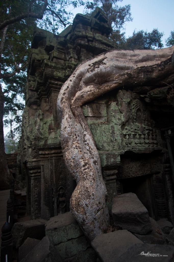 angkor tree overgrown