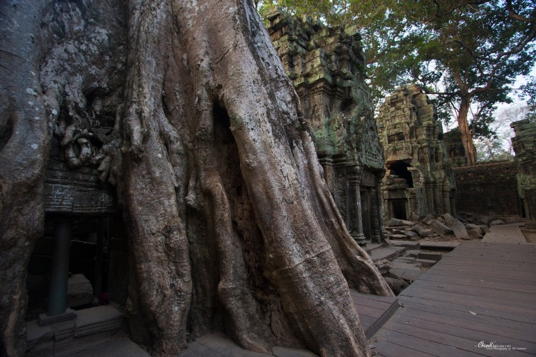 angkor tree overgrown cambodia