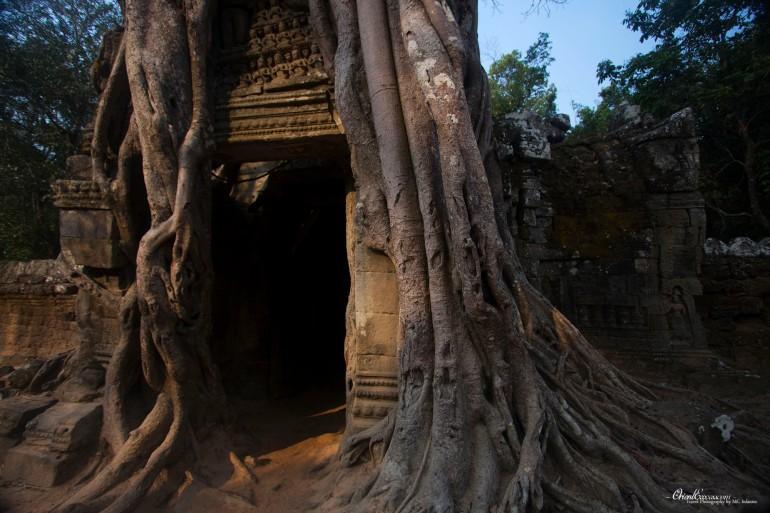 angkor photos overgrown tree temple