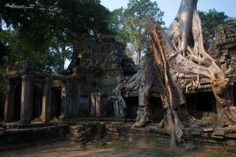 Angkor ruins tree cambodia