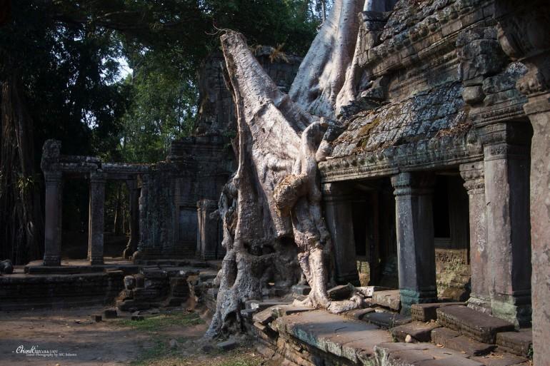 angkor tree cambodia